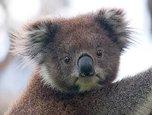 Avatarbild von Klimabedrohter Koala